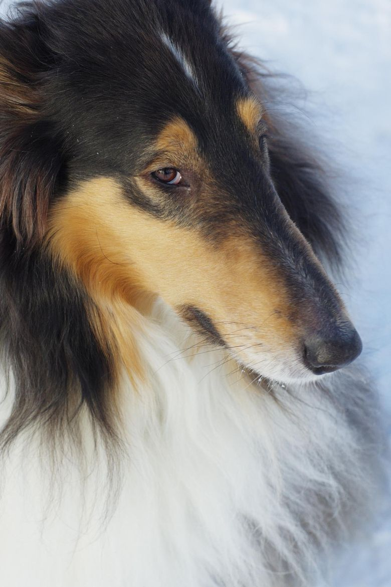 Rough Collie Nose Rough Collie Collie Puppies