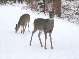 White-tailed deer and white snow #mortongrove White-tailed deer and white snow in Morton Grove, Illinois. #mortongrove