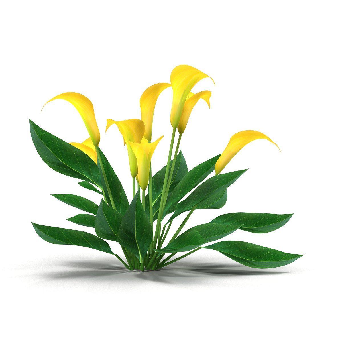 Calla lily yellow interiorvarietymakingtextures art design