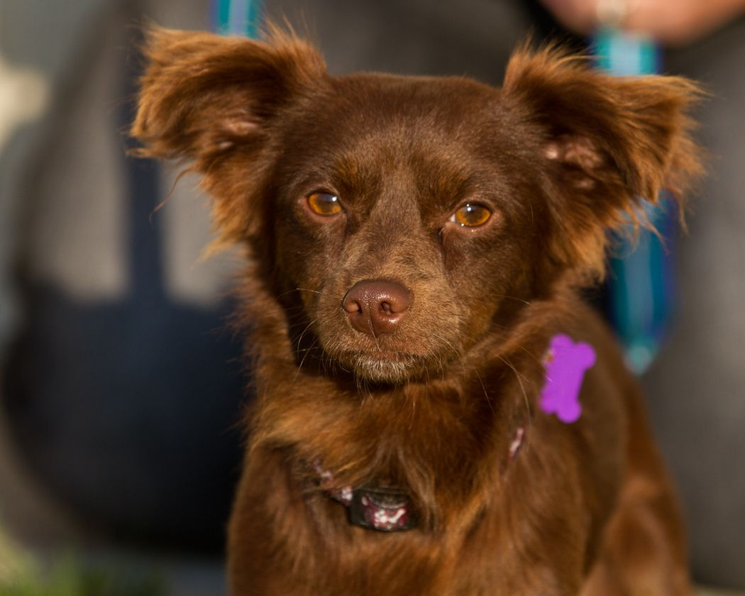 Papillon Dachshund Mix Images & Pictures Becuo