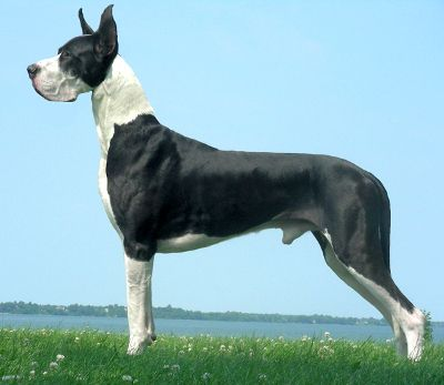 Looks Like Our First Dane Ivan With Images Great Dane Facts