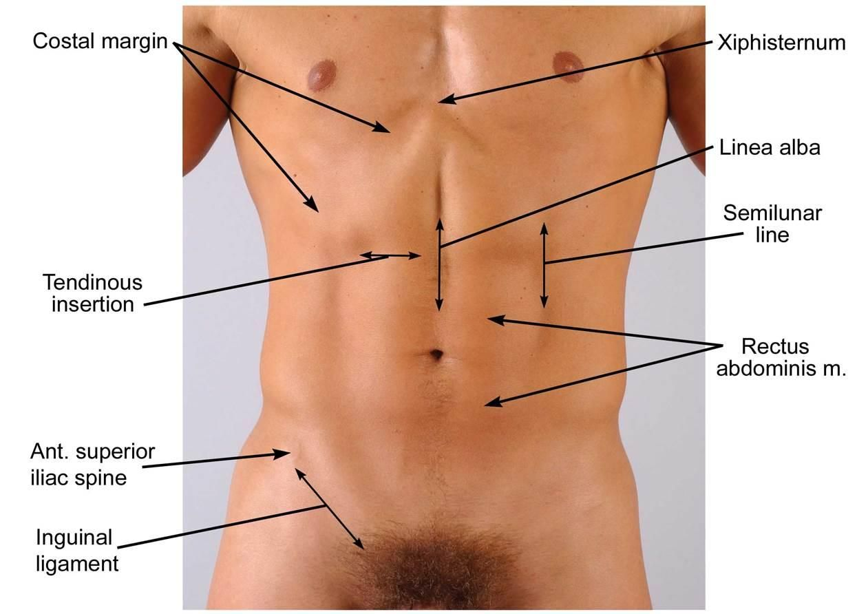 Surface anatomy: landmarks and regions. Surf on the body! | pelvis ...
