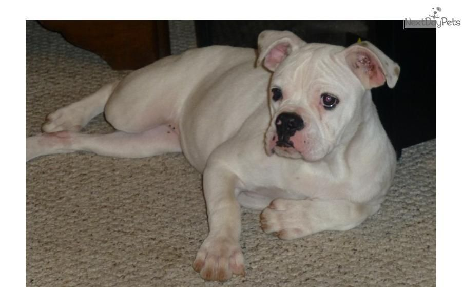 You Ll Love This Female American Bulldog Puppy Looking For A New Home Precious Jewels New Pics As 11 06 13 Dogs And Puppies American Bull Bulldog Puppies