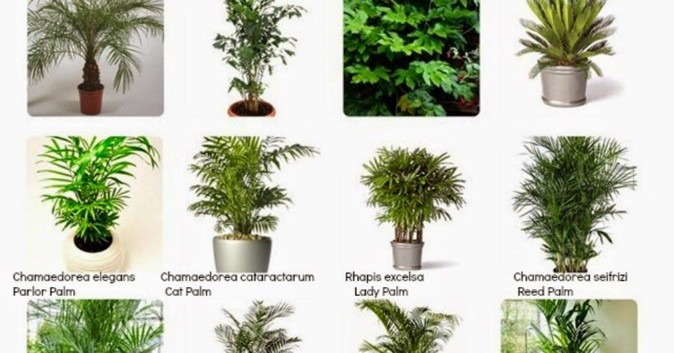 For Pronounciation Of Many Indoor Plant S Scientific Names For More Indoor Plants And Their Scientific N Identifying House Plants Plants Big Indoor Plants