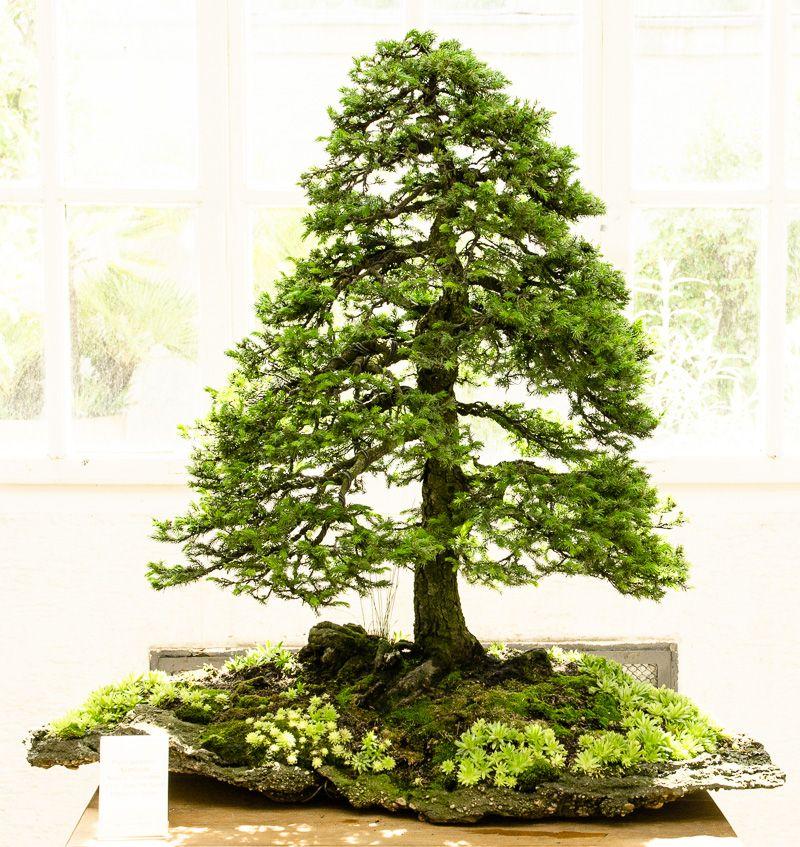 ajan fichte peicea jezoensis als bonsai bonsai. Black Bedroom Furniture Sets. Home Design Ideas