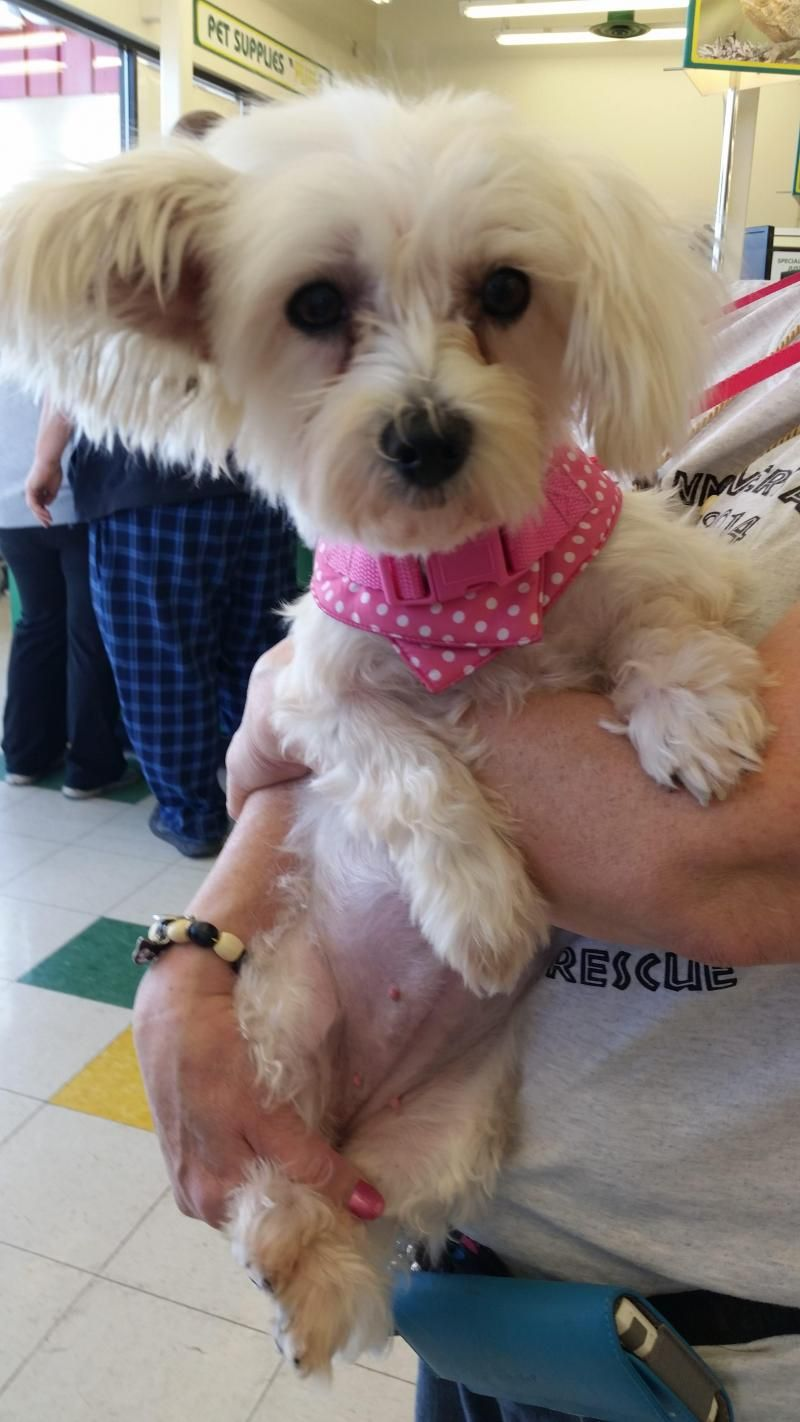 Adopt Kari Adopted On Petfinder Small Dog Rescue Coton De Tulear Dogs Shelter Dogs