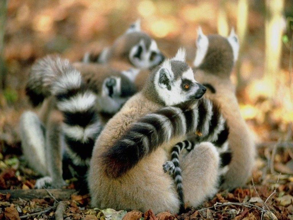 Raccoons - Tietokoneen taustakuvat: http://wallpapic-fi.com/elaimet/raccoons/wallpaper-30074