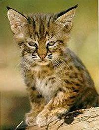 Pixie Bob Cat Mix Beetween Domestic And Bobcat Need