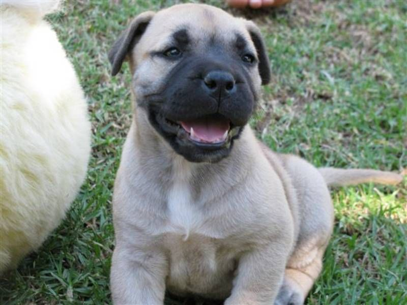 Boerboel Naw It Looks Like It S Smiling With Images