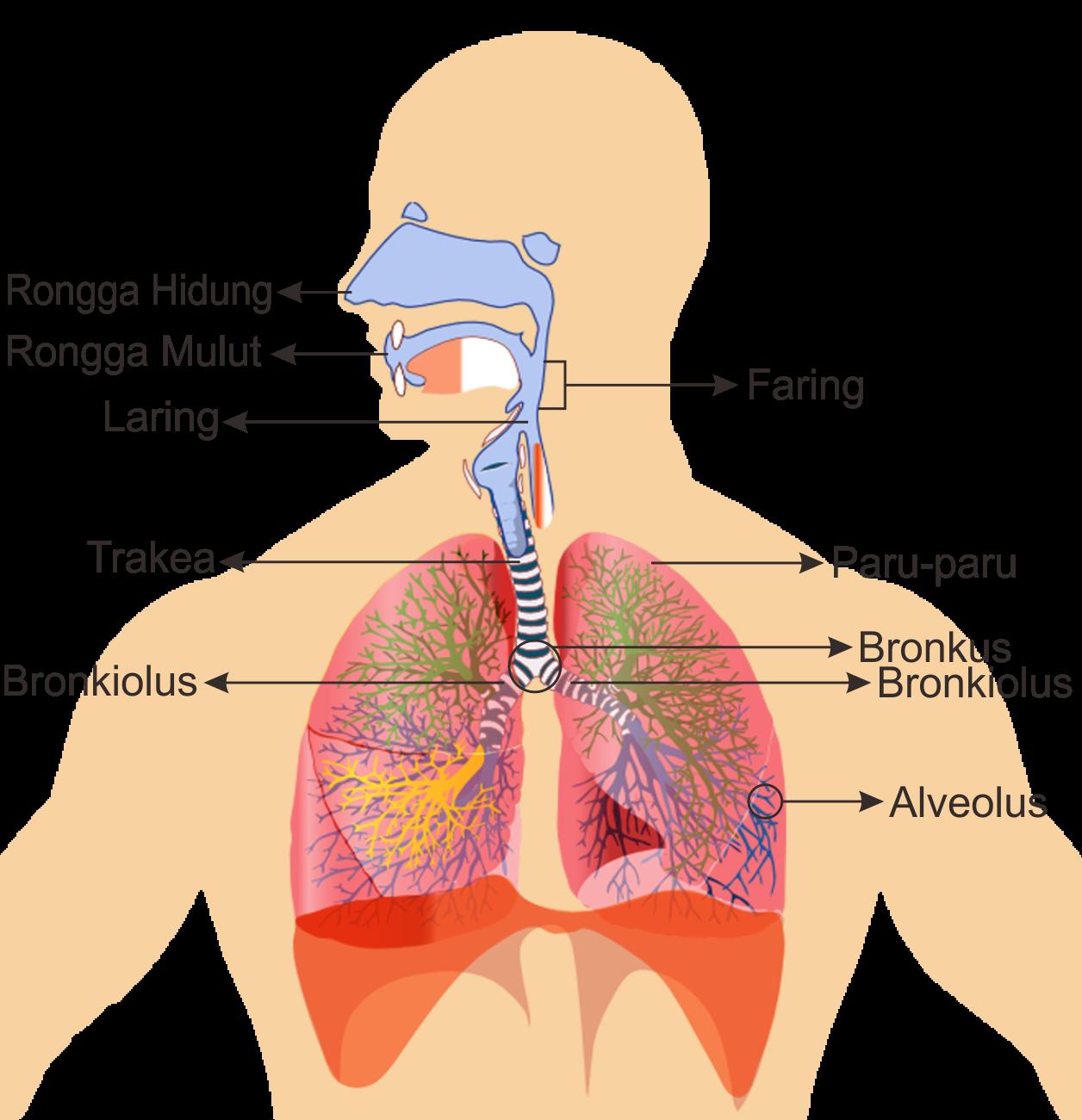 Image Result For Sistem Pernapasan Manusia Manusia Biologi Gambar