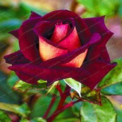 50 Pcs Rare Rose Flowers Seeds 25 Colors Selection Home Garden