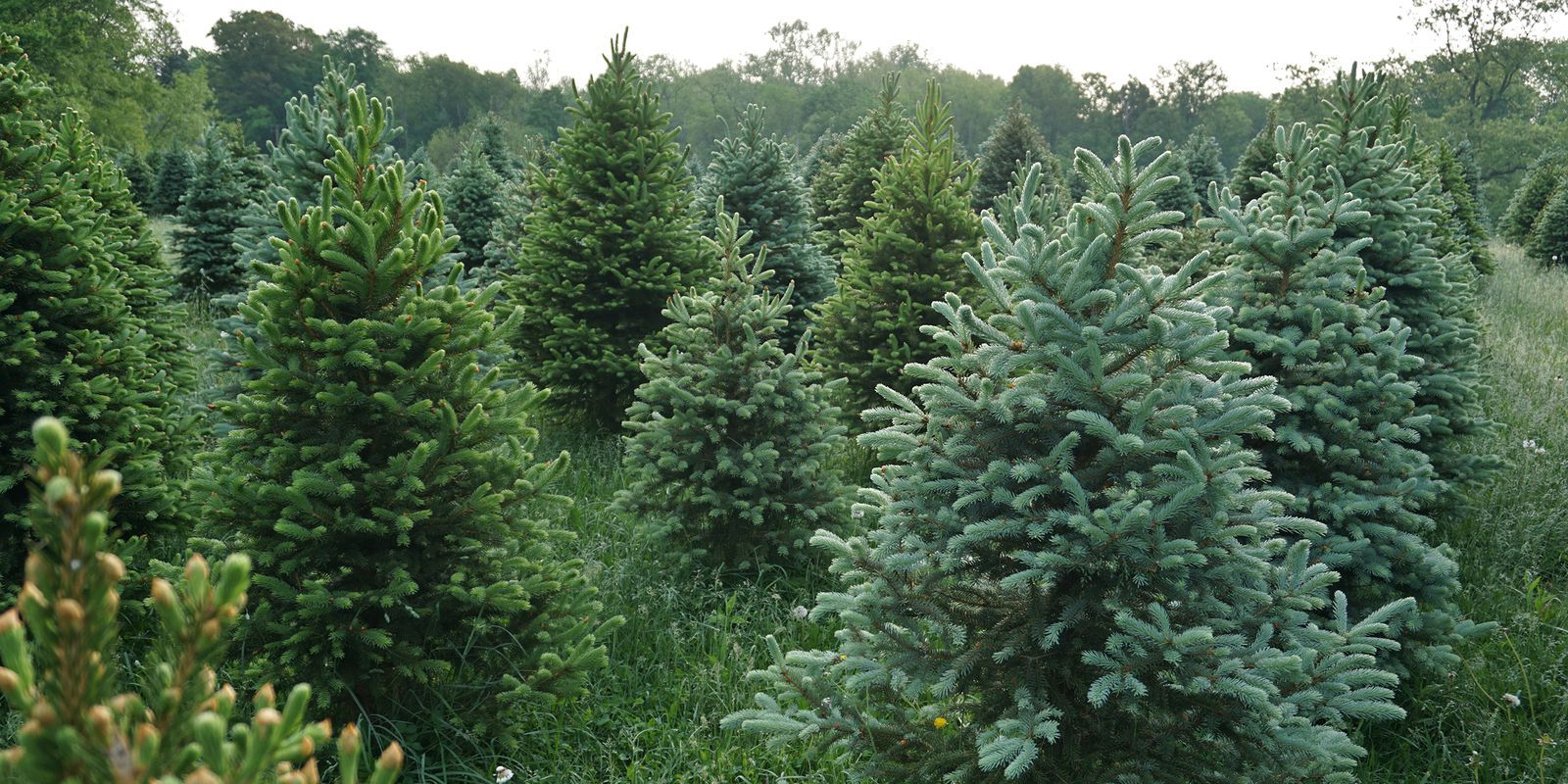 30 Best Christmas Tree Farms Near You For Your Annual Holiday Road Trip Cool Christmas Trees Christmas Tree Farm Tree Farms