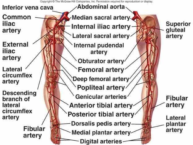 Leg Arteries Anatomy Pinterest Blood Vessels