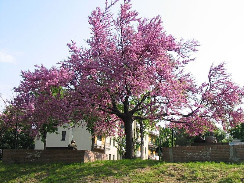 We Had A Flowering Cherry Tree When My Girls Were Small In Pointe Claire Quebec Ornamental Trees Judas Tree Flowering Cherry Tree