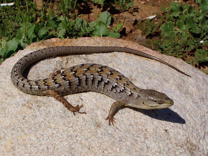 Elgaria Multicarinata Southern Alligator Lizard Lizard