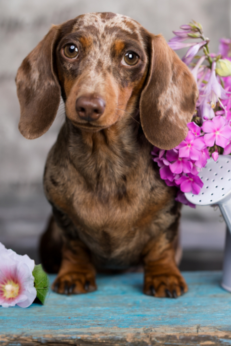 Dachshund Puppy Brown Tan Merle Color And Roses Flower Dachshund Puppy Brown Tan Merle Color And Roses Flower Dapple Dachshund Dachshund Dachshund Puppy Brown
