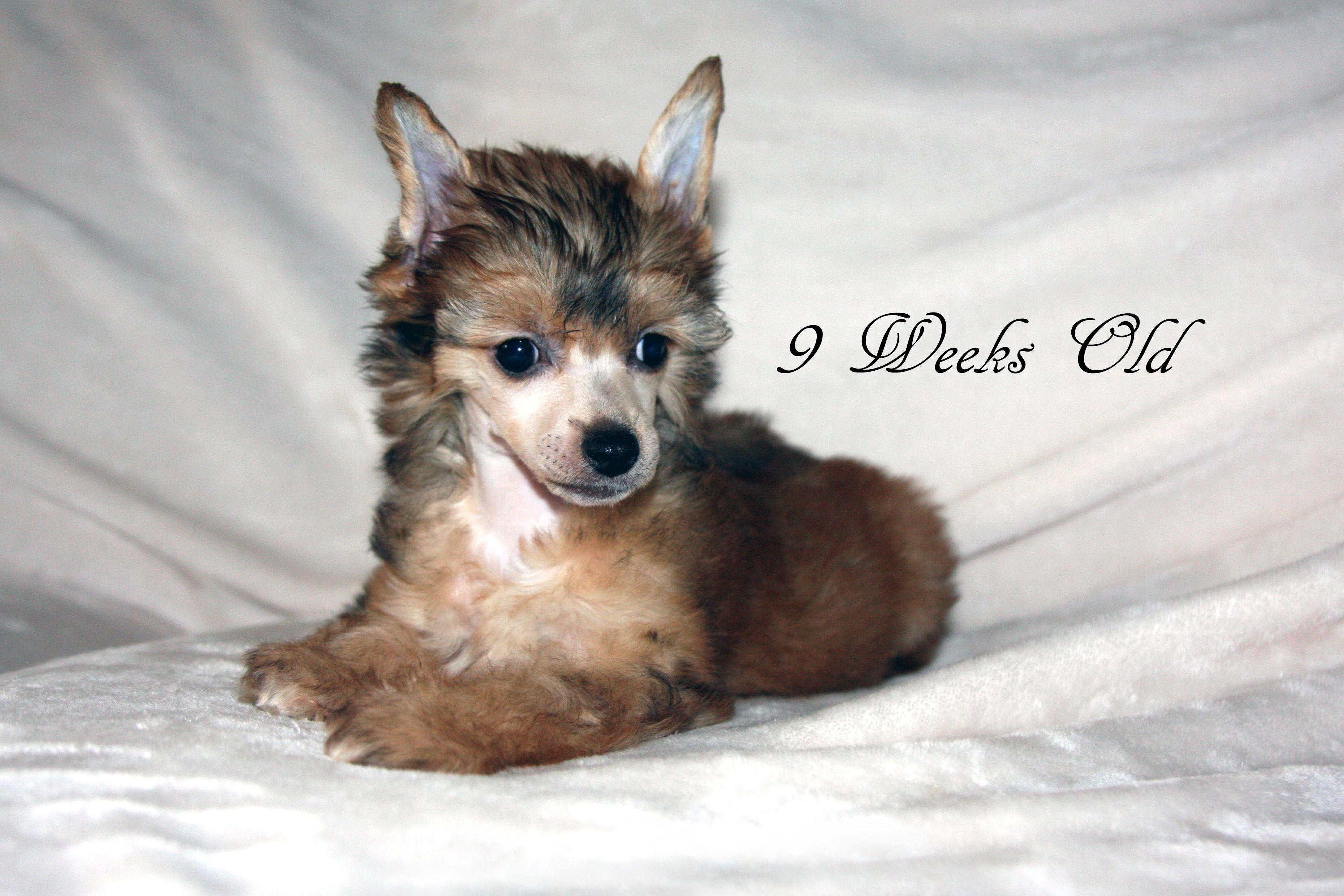 Legendary Chinese Cresteds Has Chinese Crested Puppies For