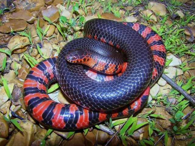 western mud snake Google Search Snake, Cute snake