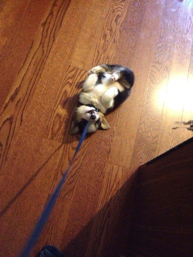 16 Dogs That Don T Want To Go For A Walk Redbarn Pet Products