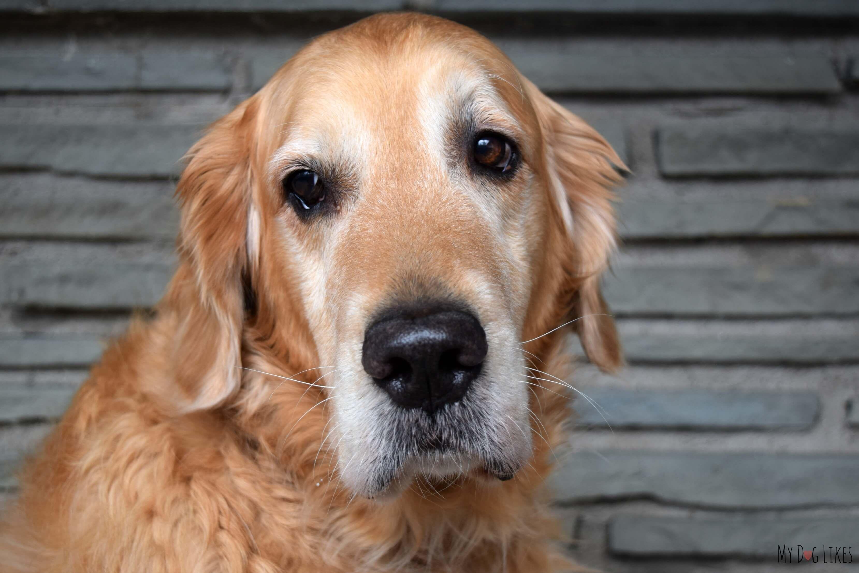 Brave Beagle Dog Ear Cleaner Review Dog Ear Cleaner Beagle Dog