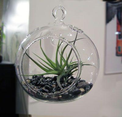 plantas que viven del aire 1 | Plantas aéreas | Pinterest
