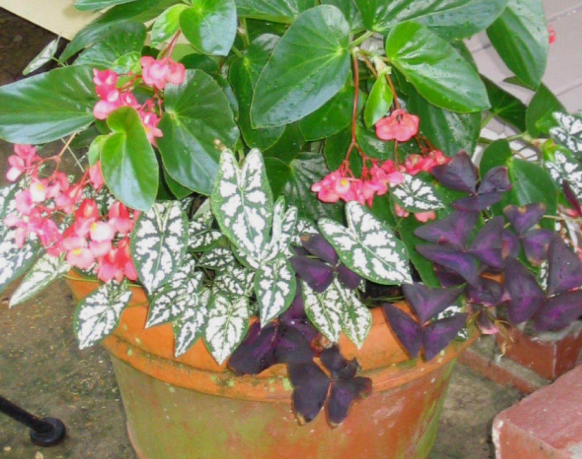 Caladium Pot With Oxalis And Angel Wing Begonias Plants