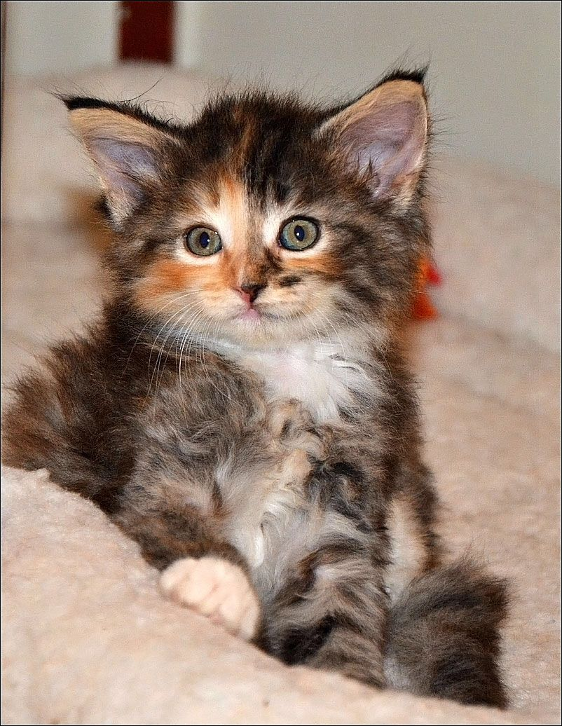 Our Norwegian Forest Cat, she will join our family in November ...