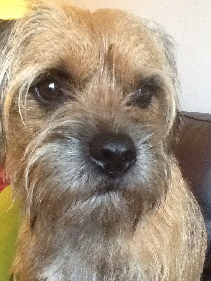 Murdo With His Give Me A Treat Please Look Border Terrier