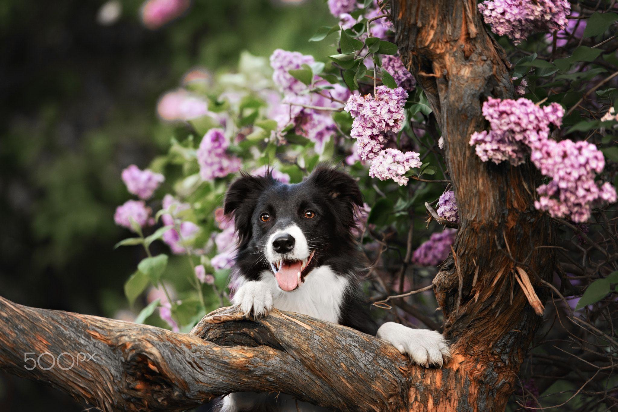 border collie dog portrait by brusnika_k #Garten #Garden # ...