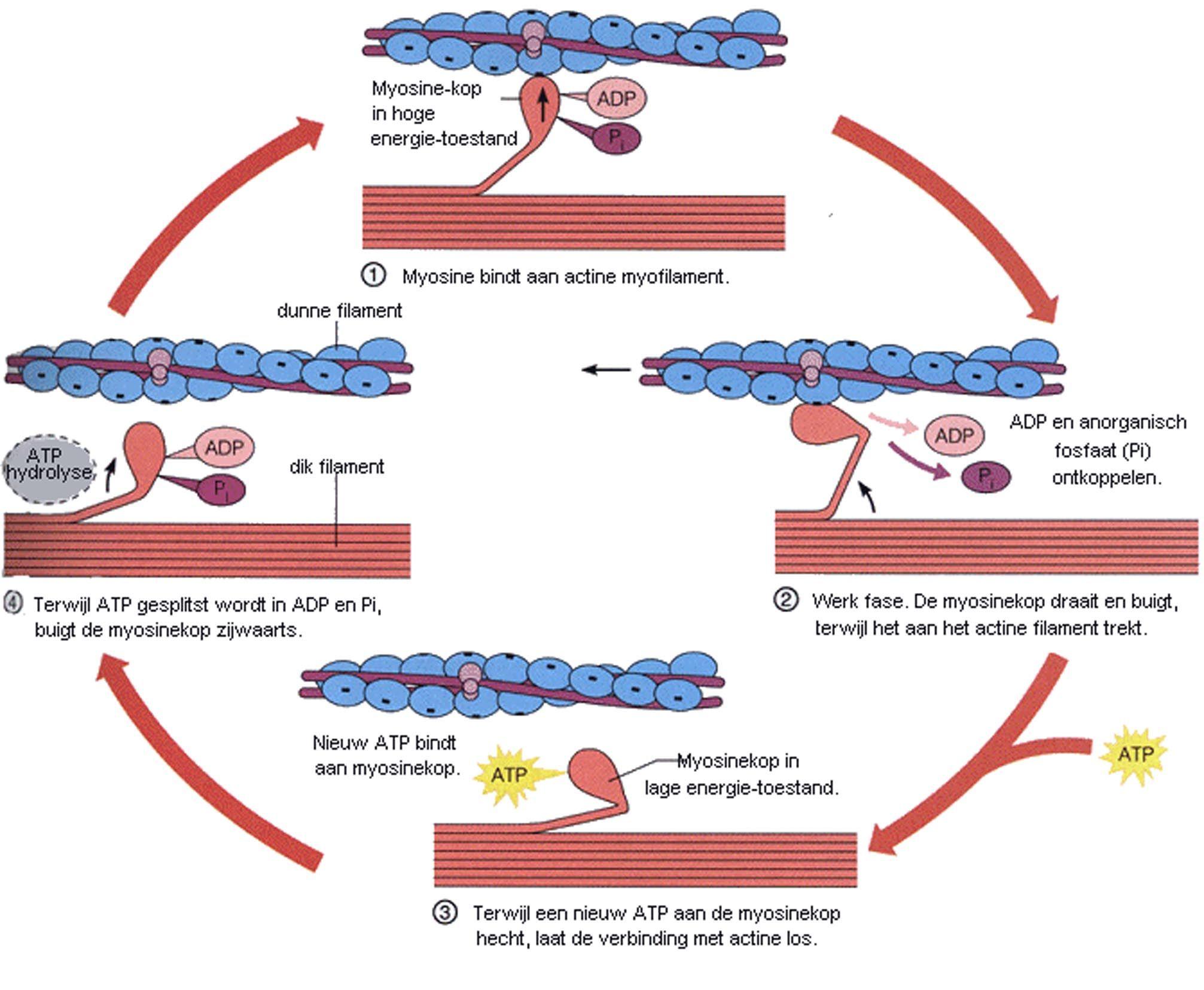 werking myosine