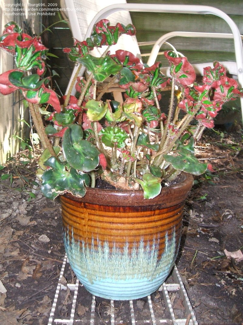 cathedral begonia - Google Search