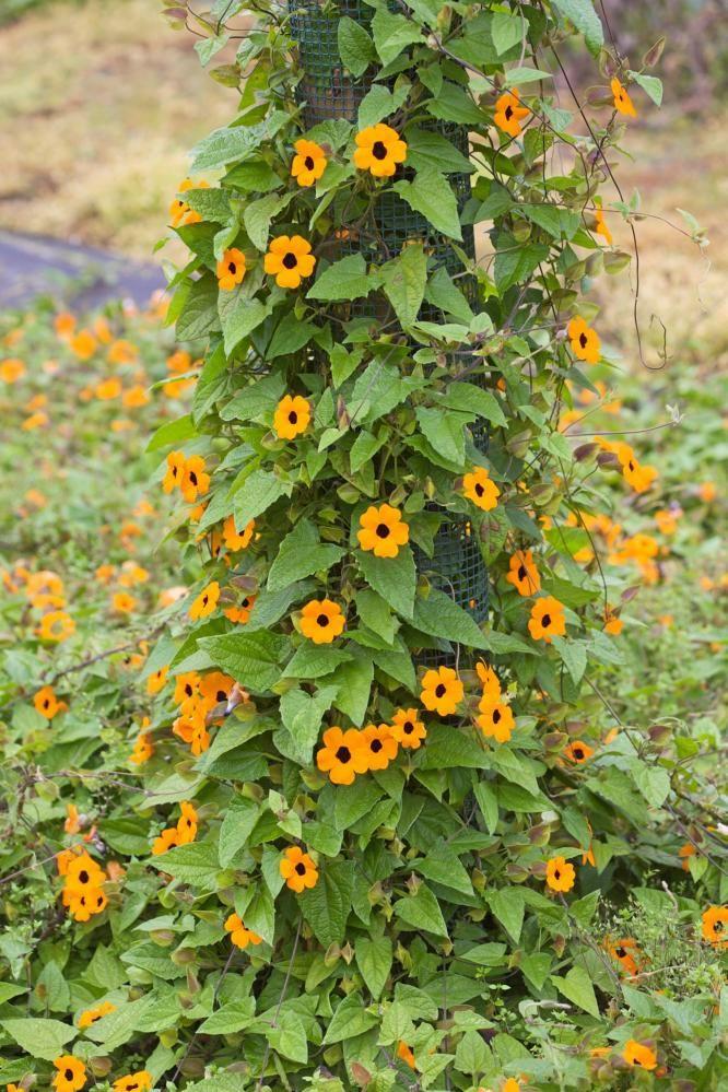 Vingethunbergia, tøff! Sånn skulle vi hatt på altanen!
