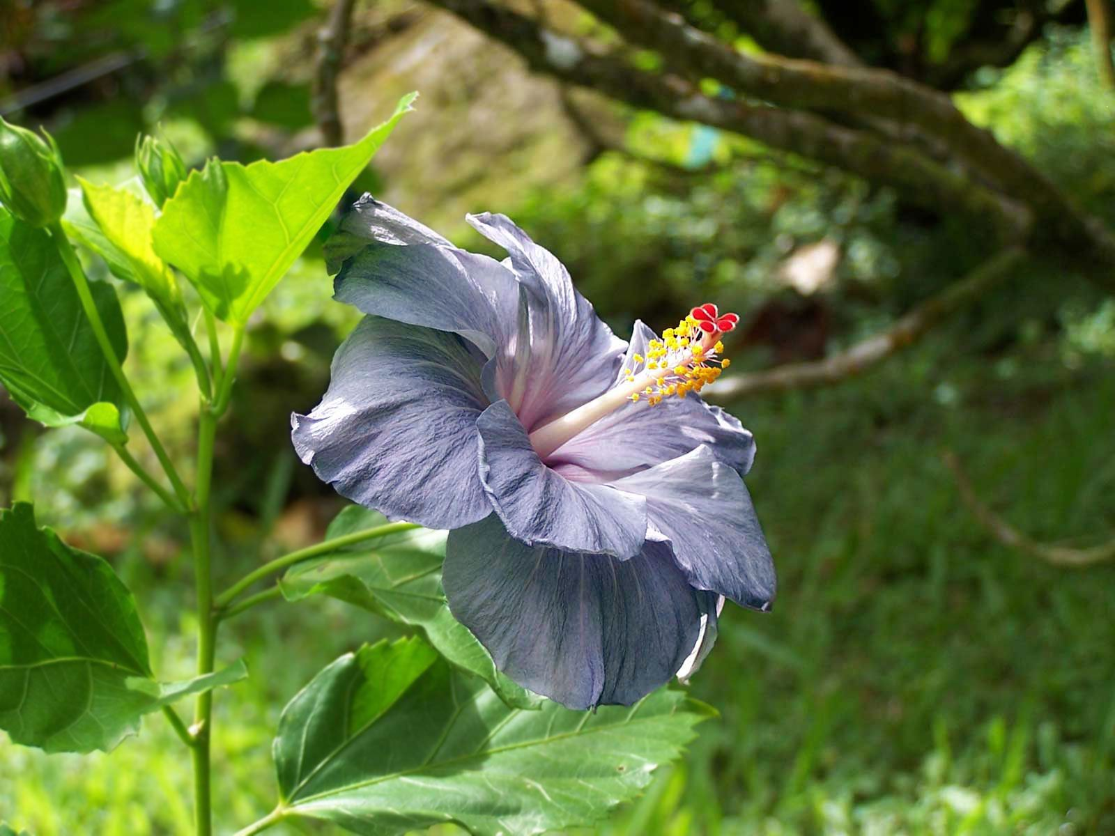 Beautiful and unique purple Hawaiian hibiscus. This picture was taken on Hawaii's Big Island in the Hawaii Botanical Gardens near Hilo. What a gorgeous flower.