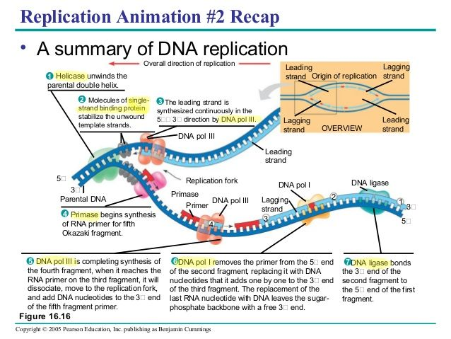 diagram of dna replication fork image collections how to guide and refrence. Black Bedroom Furniture Sets. Home Design Ideas