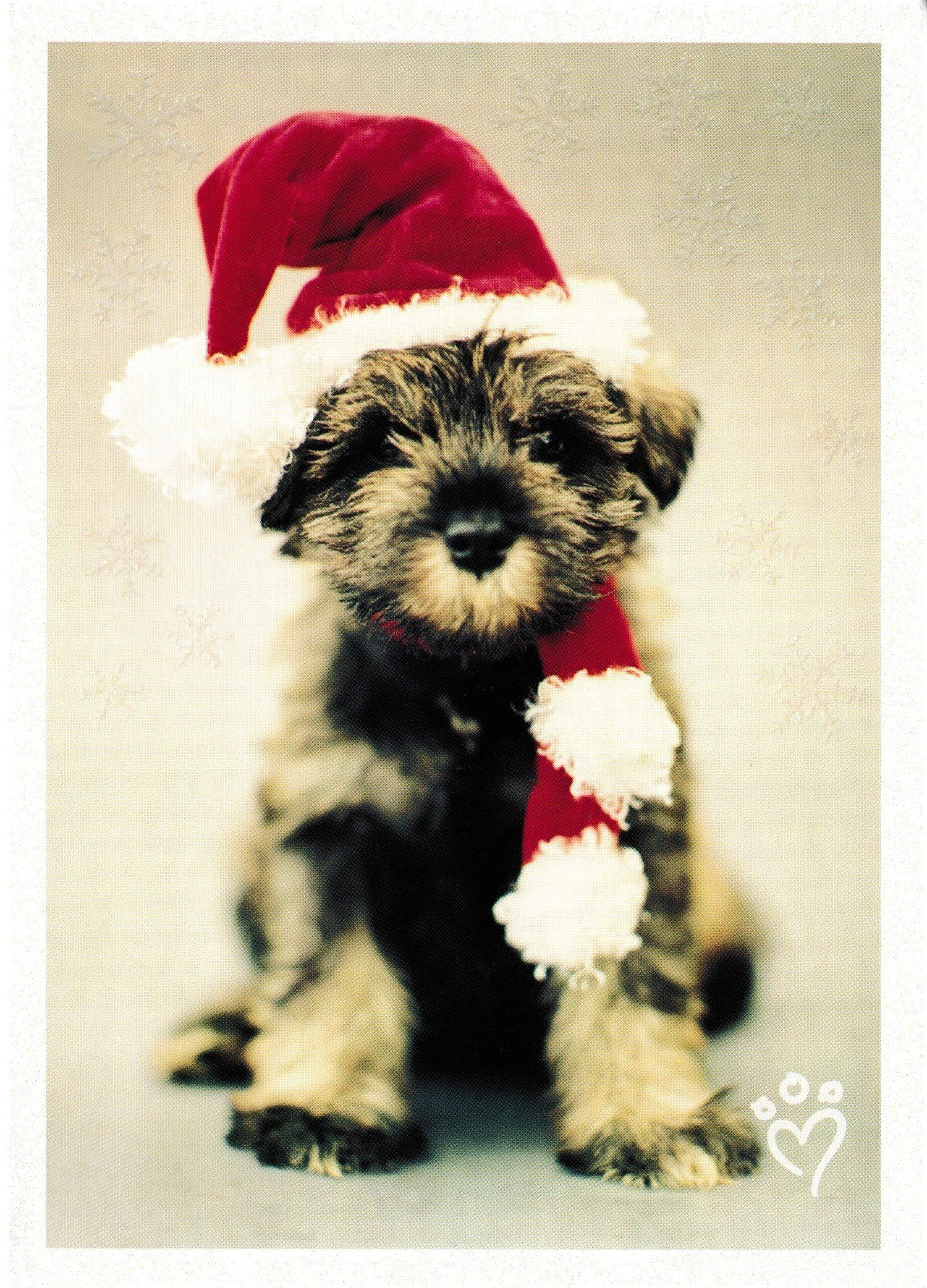 Amazon.com: 18 Miniature Schnauzer Adorable Puppy Christmas Cards ...