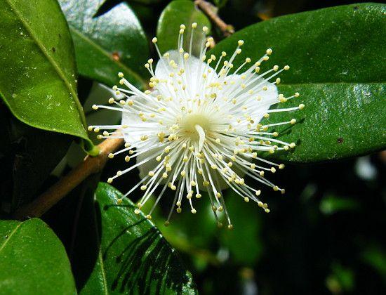 Myrtus Communis Pflanzen Botanischer Garten Blumen Bluten