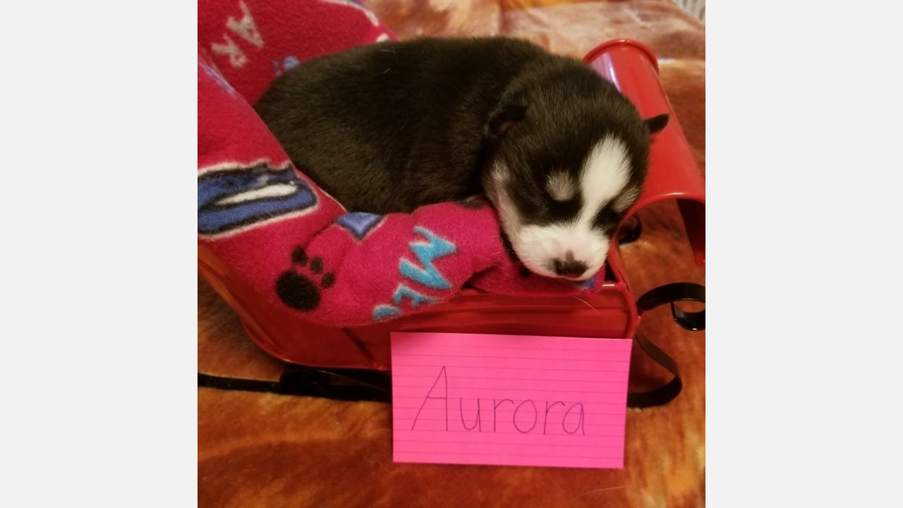 Fluffy An Akc Siberian Husky Puppy For Sale From Indiana Find