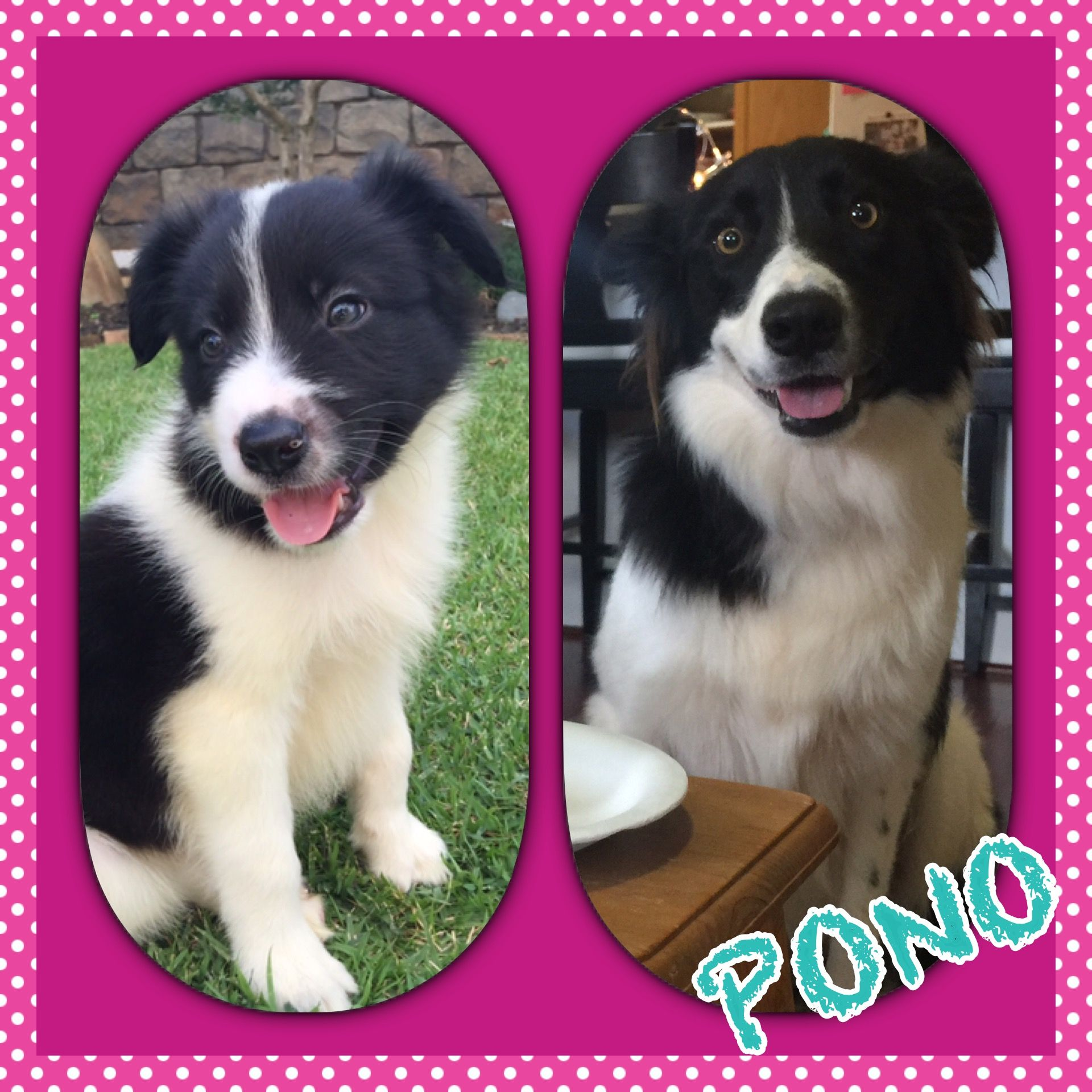 Pin By Michelle Wilson On Hawaii Border Collie Collie Border Collie