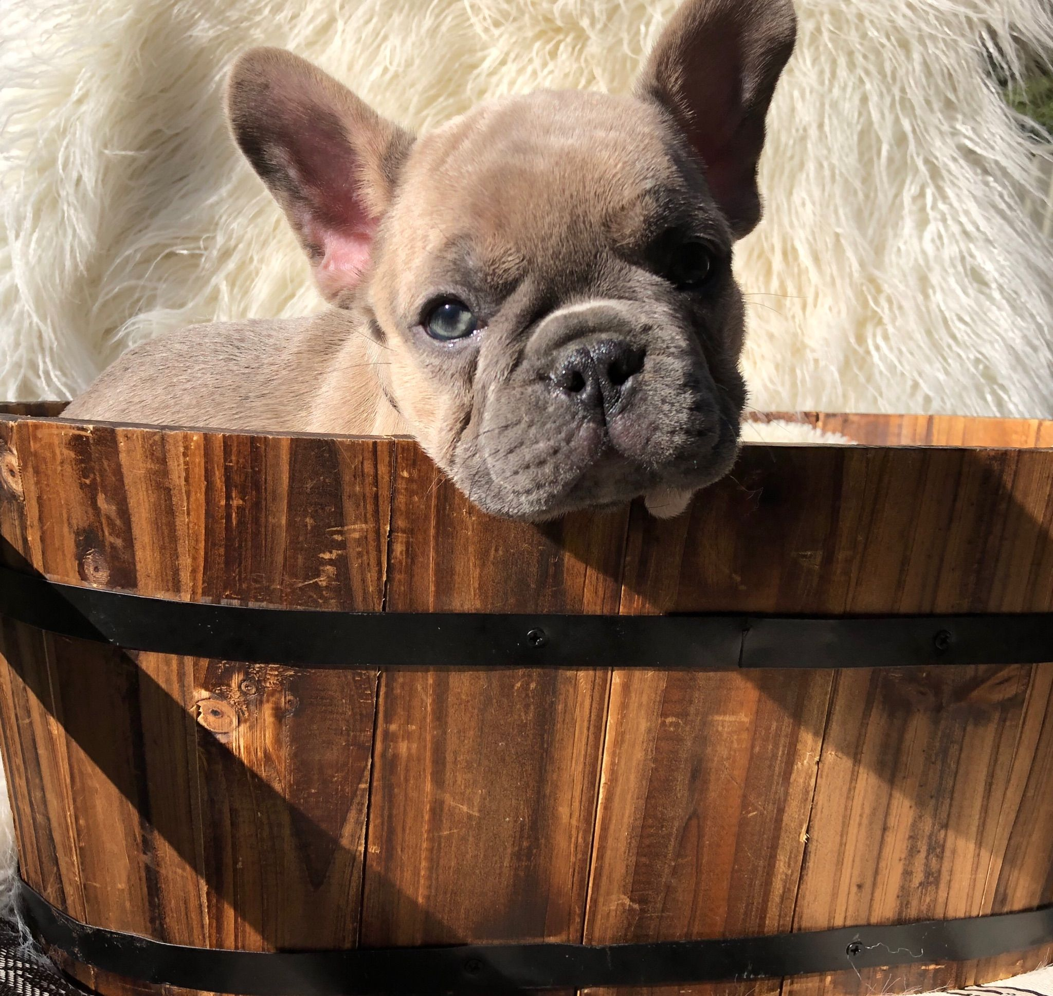 Our Shops New Mascot Hugo The Frenchbulldog French Bulldog Puppies French Bulldog Bulldog Puppies