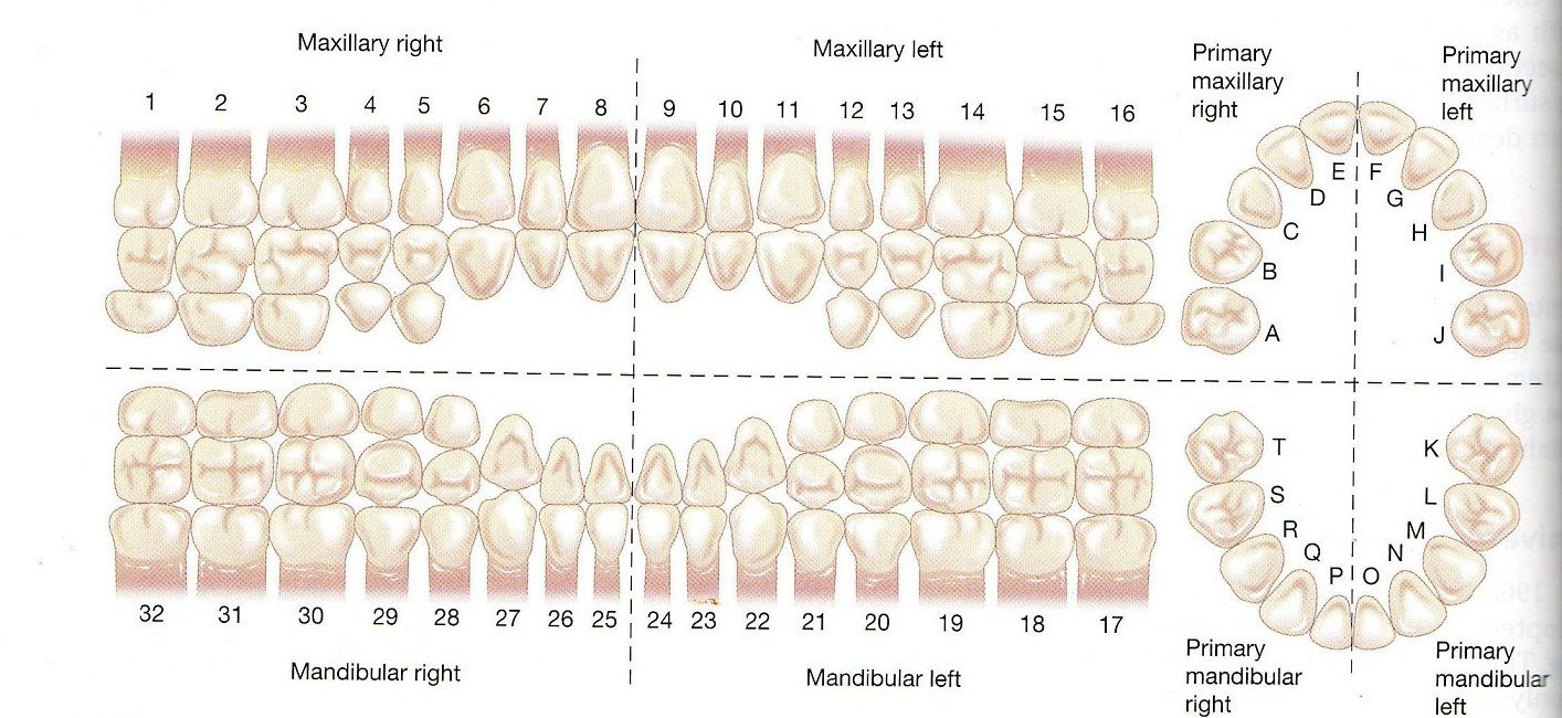 primary teeth numbering system | Dental | Pinterest | Dental