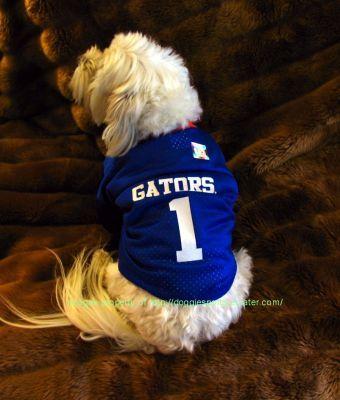 Florida Gators Football Dog Jersey Is it cute now  David Nilsson Baca  539023192