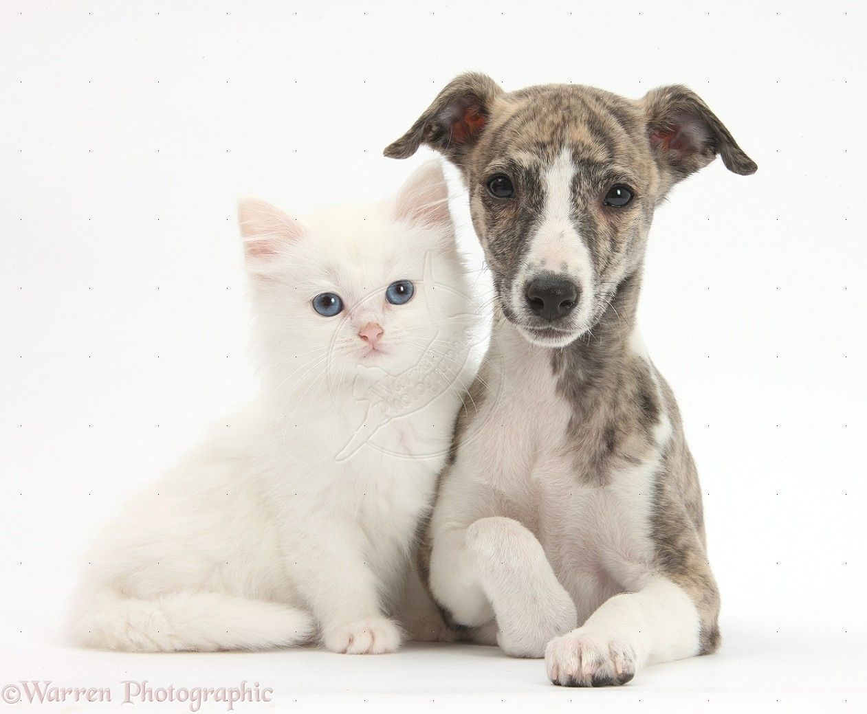 Best buds ) Whippet puppies, Dog