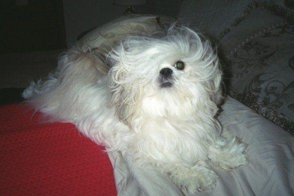 Bessie Is My One Eyed Shih Tzu She Is A Stinker But I Still Love