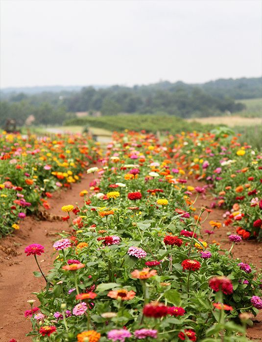 Zinnias Hardest Working Flower In Your Garden If You Can Dig A Hole Make These Grow T Wait To See Our Outcome Making Things Beautiful With