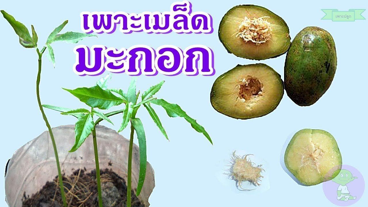 Kedongdong Ambarella ว ธ เพาะเมล ดมะกอกฝร ง ปล กต นมะกอกฝร ง