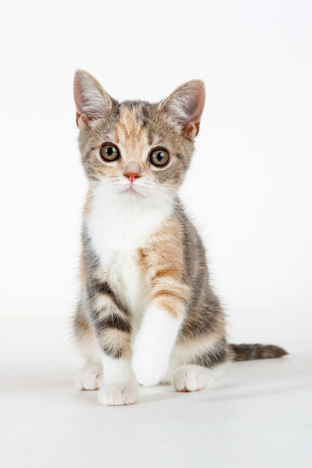 Daily Dose - April 29, 2017 - Calico Kid - American Shorthair ...