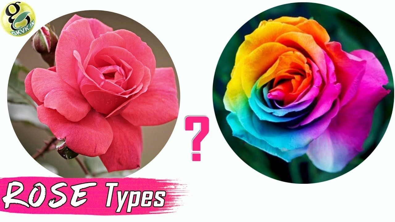 Rose Types Desi Rose Vs English Rose Classification Difference Mode