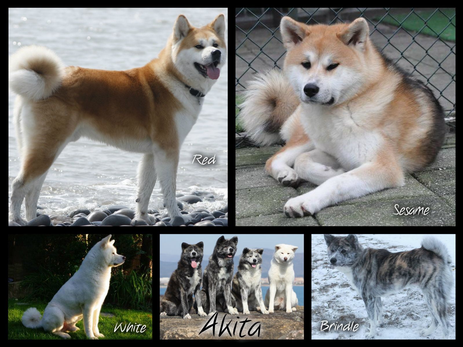 Akita Colors Please Note That There S A Difference Between