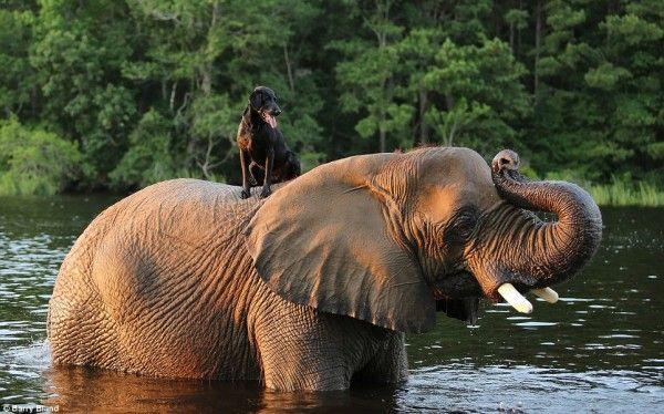 lab on elephant's back