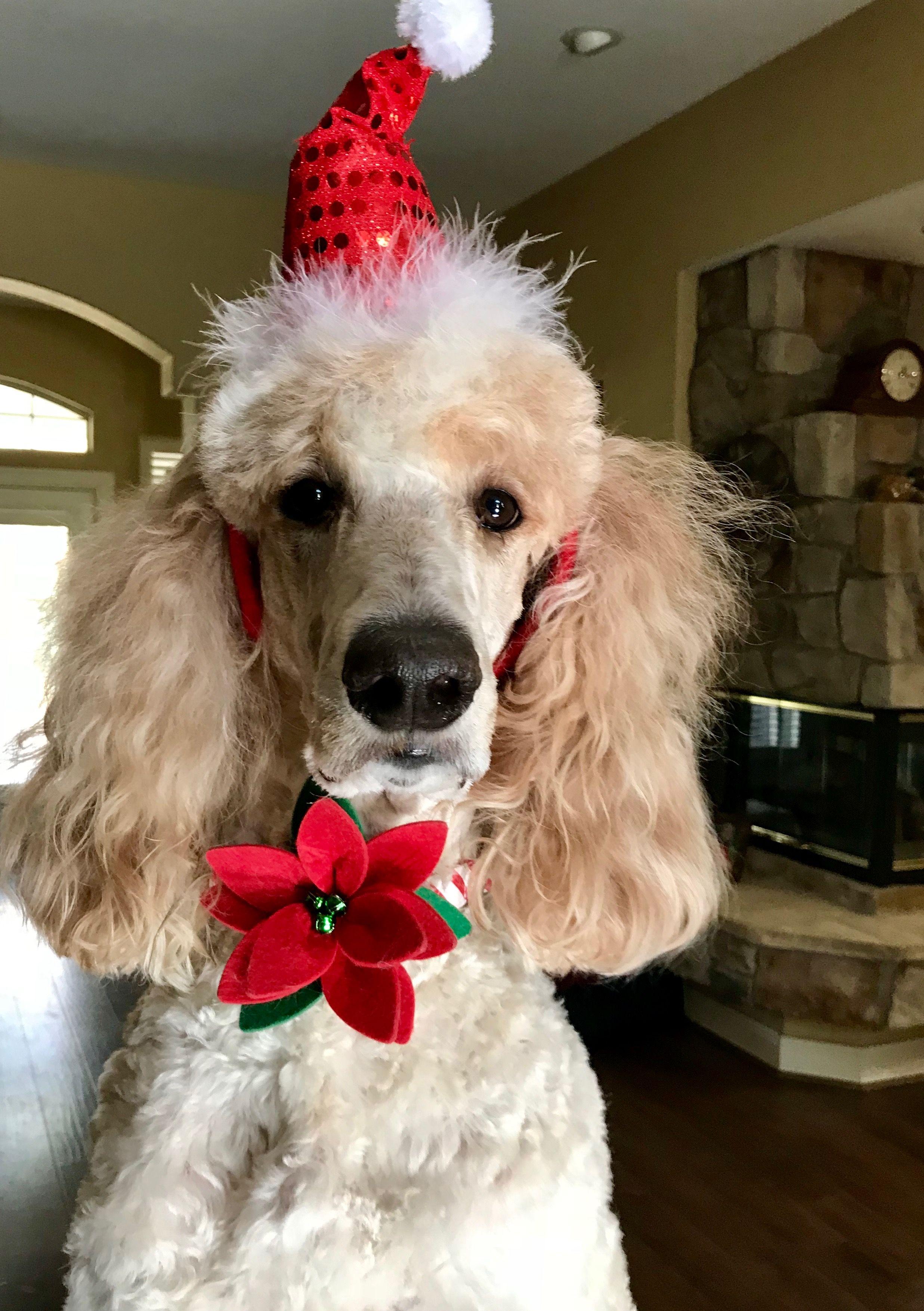 Charlie Bo Christmas dog, Poodle